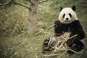 huan_huan_panda