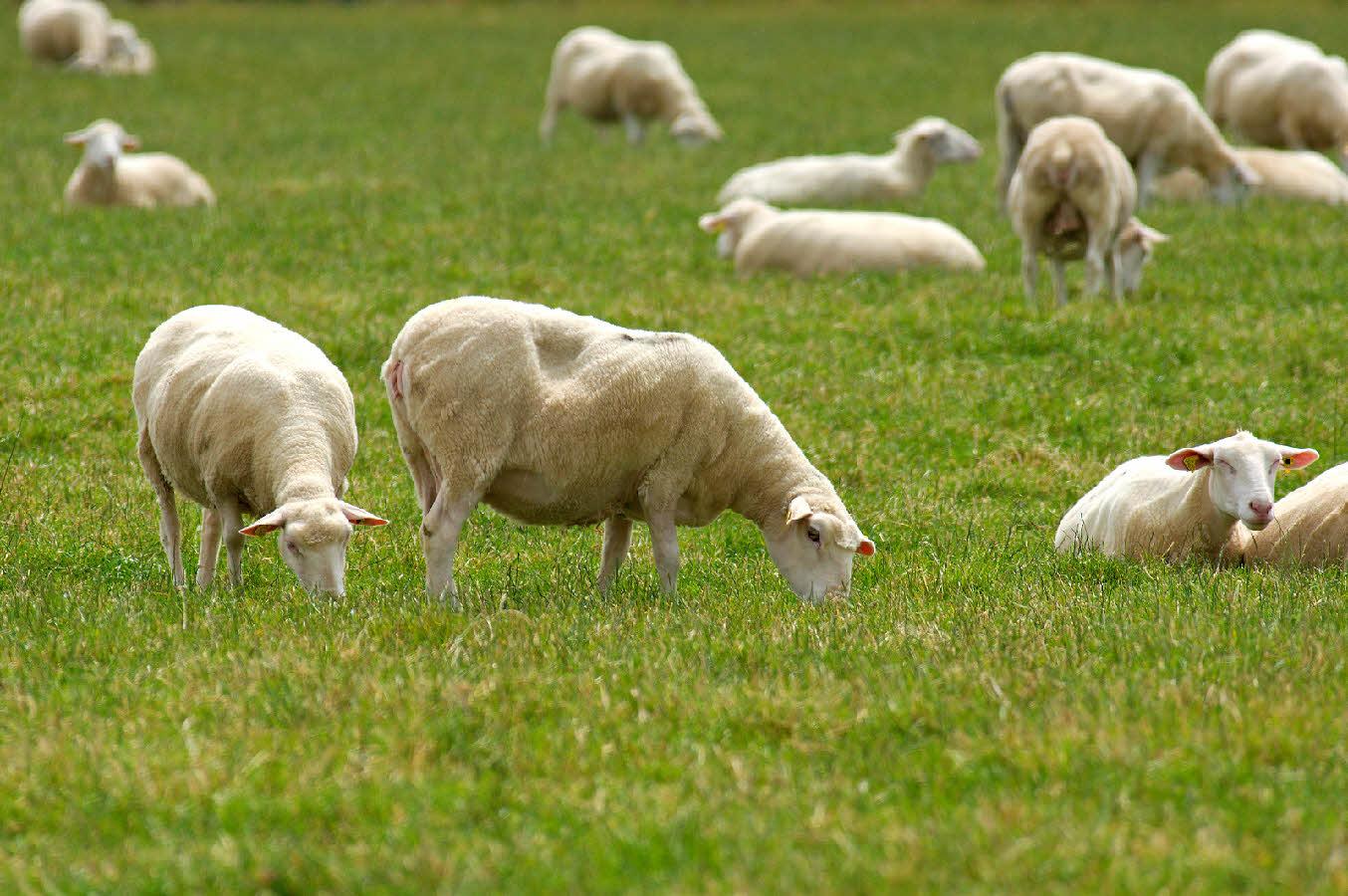 Centrale du tricastin des moutons pour d sherber les for Travailler dans les espaces verts