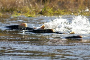 saumon_upstream_photo_USFWS Pacific Southwest Region