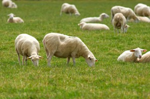 mouton_desherbage