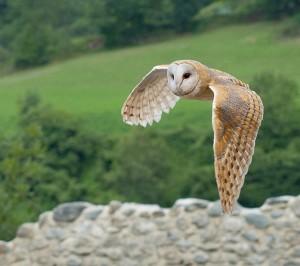 Chouette effraie en vol - Tyto alba - Luc Viatour