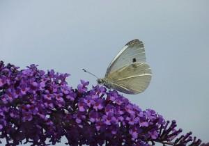 Papillon Pieris Brassicae _ photo Jamain
